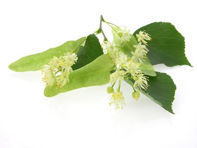 twig of blooming tilia