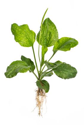 Breit-Wegerich (Plantago major L.) - Ganze Pflanze auf weißem
