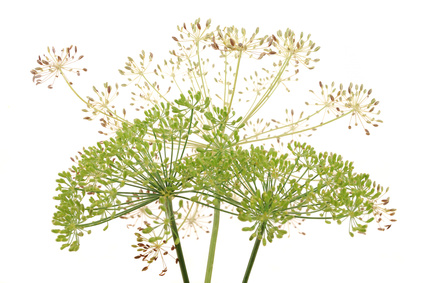 Umbrellas of fennel