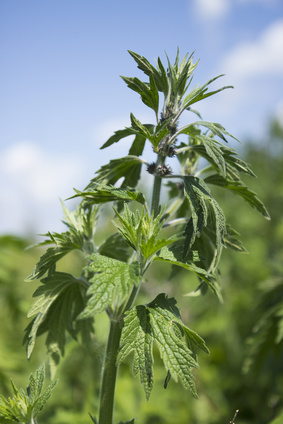 Motherwort begins to bloom in June