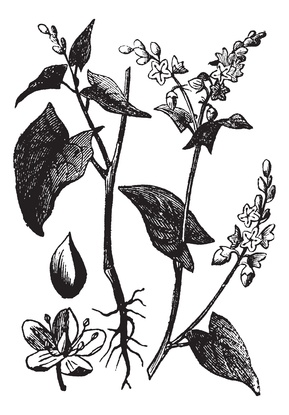 Buckwheat or Fagopyrum esculentum vintage engraving