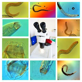 Nematoden unter dem Mikroskop