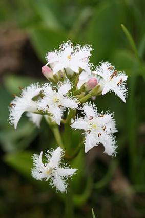 tréfle d'eau - menyanthes trifoliata