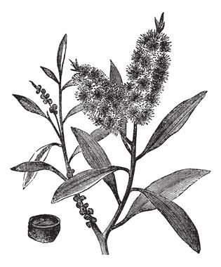 Tea Tree Oil has white wood (Melaleuca Leucadendron), vintage en