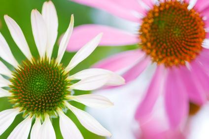 Serie Heilpflanzen - Echinacea-Blüten