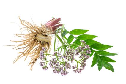 Baldrian (Valeriana officinalis) Wurzeln, Blätter und Blüten