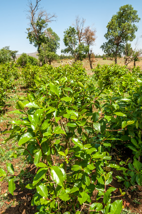 Shrubs with leaves of khat (chat), Ethiopia
