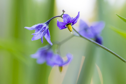 nightshade flowers in grass background