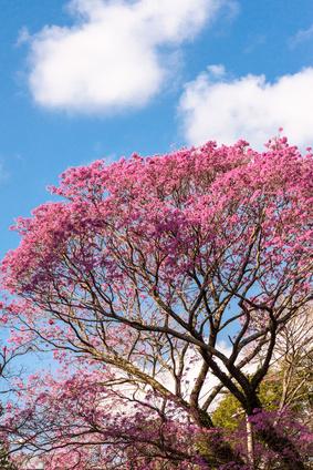 Pink Ipe