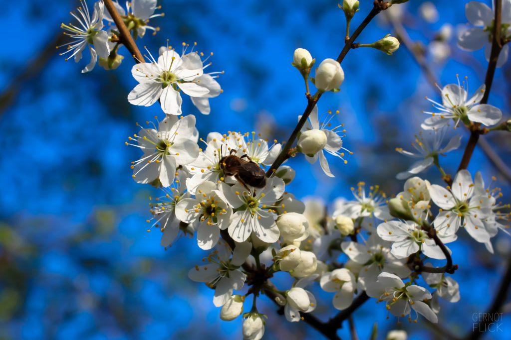 Heilrezept: Schlehdornblüten-Öl