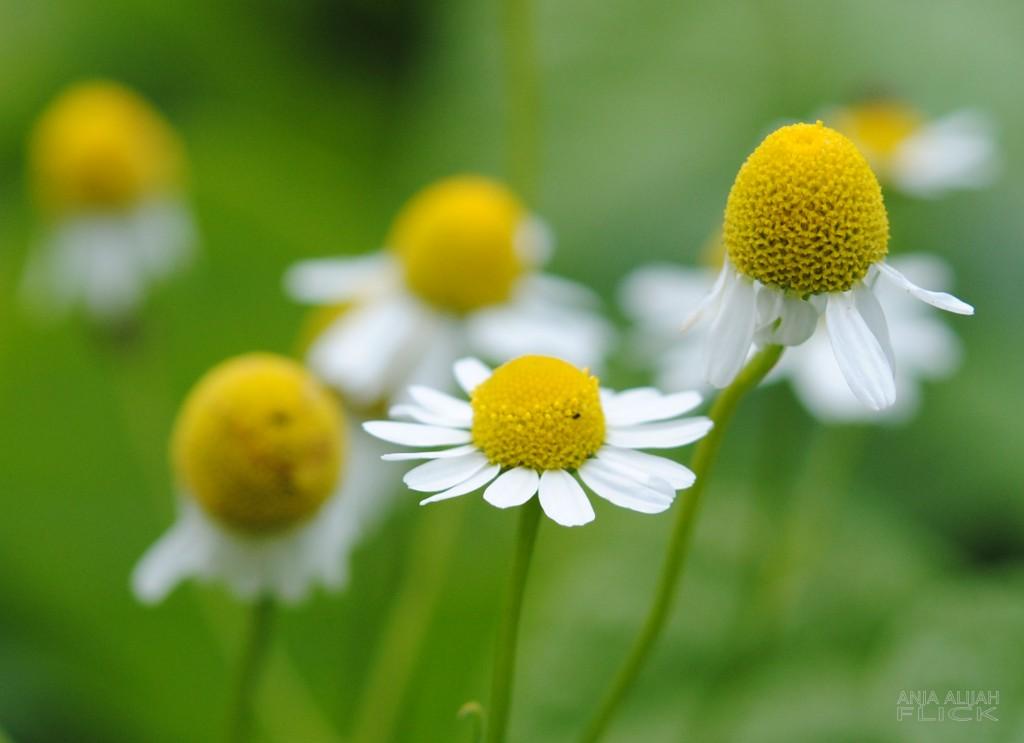Heilpflanze der Woche: Kamille