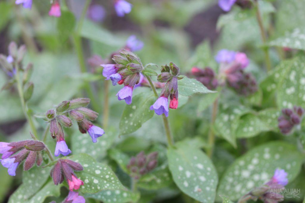 Heilpflanze der Woche: Lungenkraut
