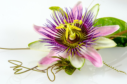 Passionsblume, ganz nah: Passiflora x belotti / Studio
