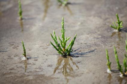 Queller - Salzkräuter - Salicornia europaea