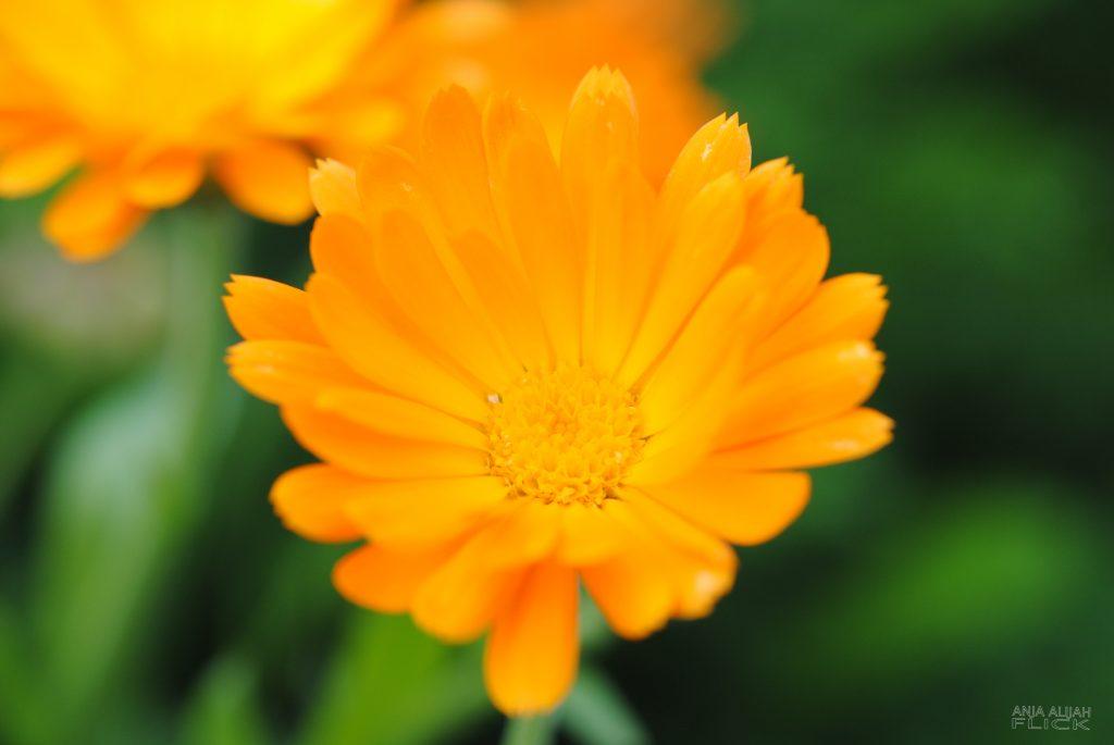 Heilrezept: Ringelblumen-Tinktur