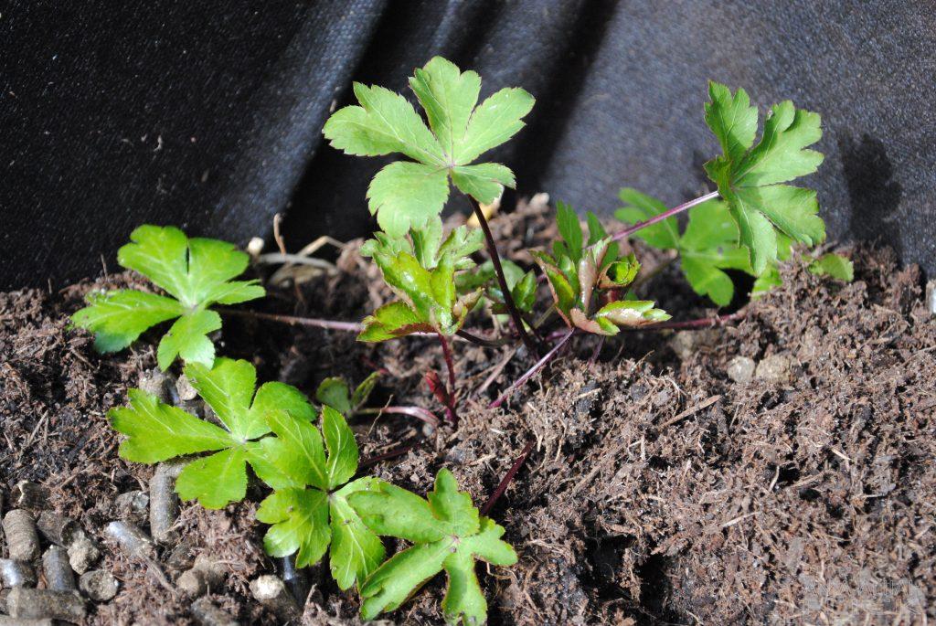 Heilpflanze der Woche: Sanikel