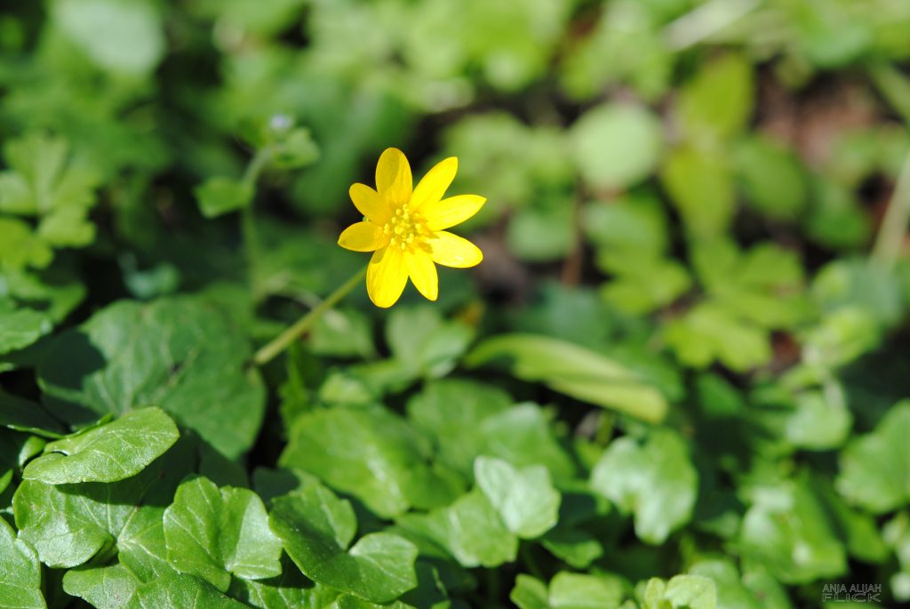 Scharbockskraut: Frühjahrs-Vitamin-C