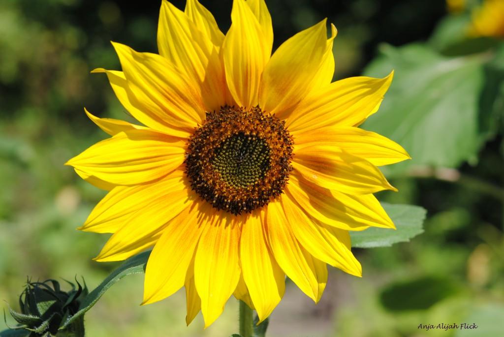 Sonnenblume NEU DSC_0008