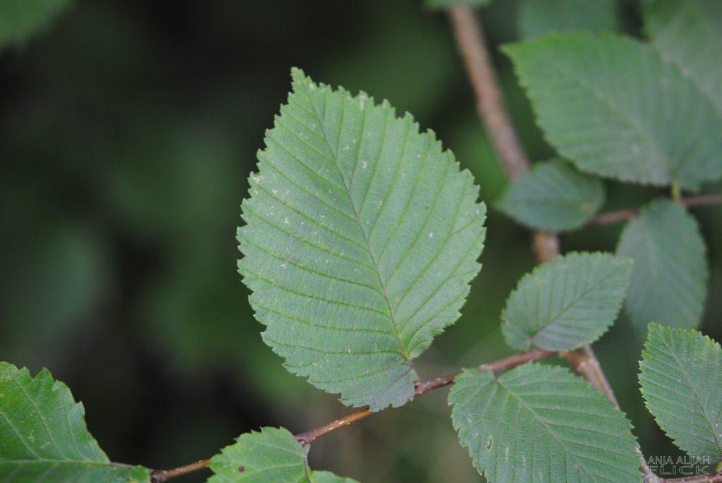 "Ulme: Die Heilkraft des ""Elfen-Baumes"""