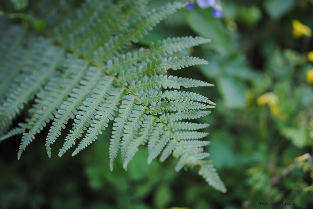 Wurmfarn Dryopteris felix mas NEU DSC_0043